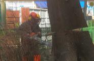 Baumfällarbeiten mit Kettensäge