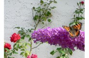 Pfauenauge sitzt auf Blüte