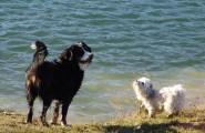 Zwei Hunde am See beim Training