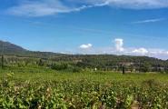 Weintraubenanbau von Gérards Wein-Markt Füchsle